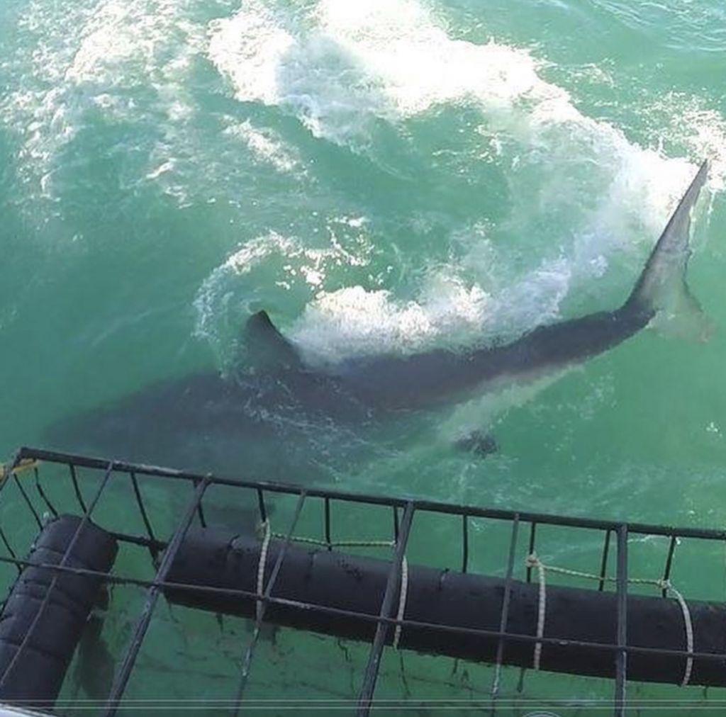 Immersione con squali bianchi